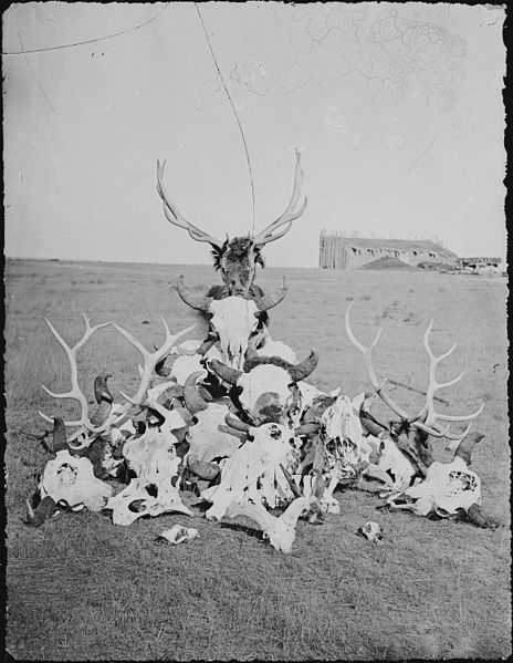 464px-A_collection_of_buffalo,_elk,_deer,_mountain_sheep_and_wolf_skulls_and_bones_near_Fort_Sanders._Albany_County,_Wyoming._-_NARA_-_516956