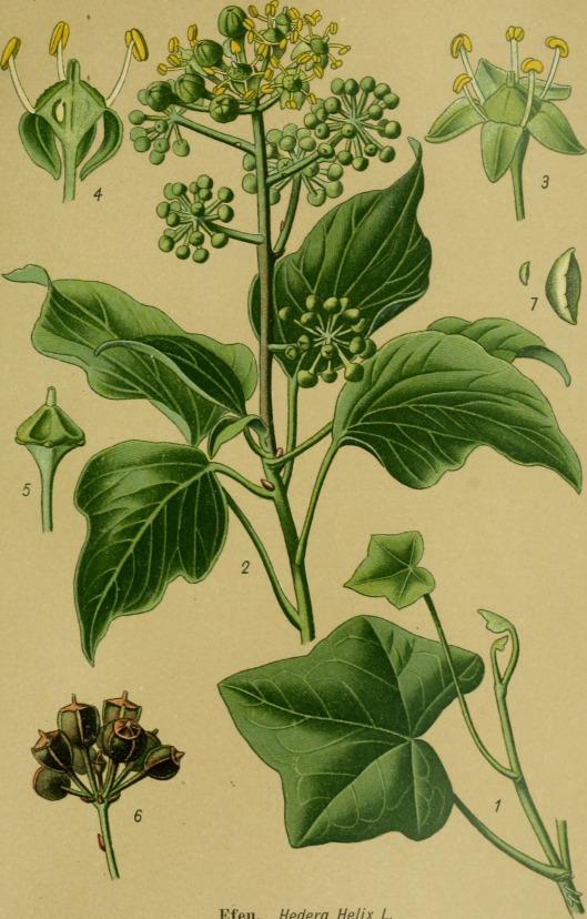 Die_Giftpflanzen_Deutschlands_(1910)_(20738472958)